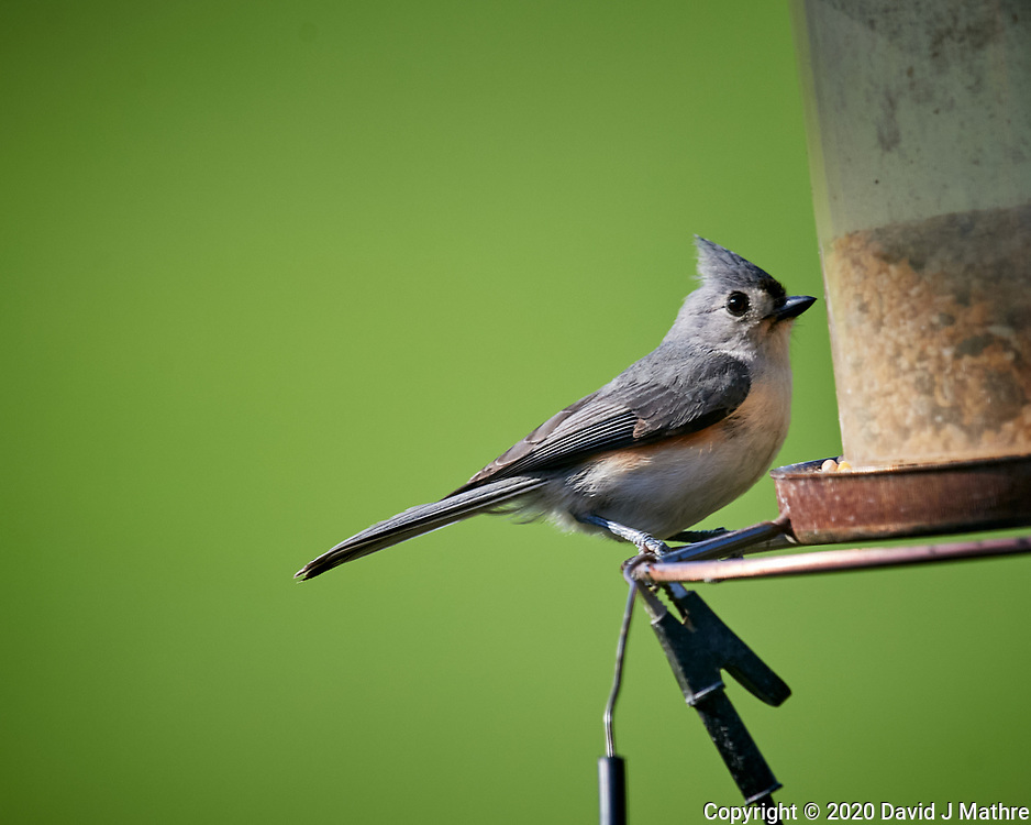 Tufted Titmouse. Image taken with a Nikon D5 camera and 600 mm f/4 VR lens (ISO 900, 600 mm, f/5.6, 1/400 sec).