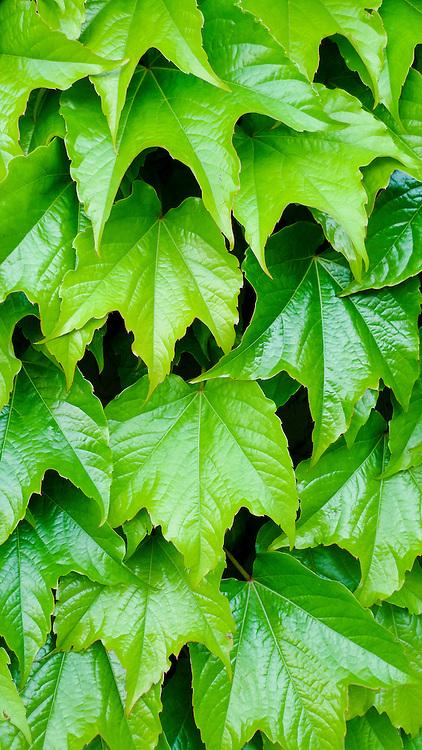 Green VineMarlborough, South Island, New Zealand