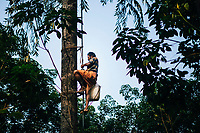Neriamangalam, India -- February 18, 2018: A toddy tapper climbs a tall palm tree to gather its fermented juices.