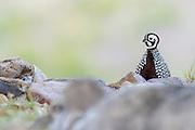 Montezuma Quail, Cyrtonyx montezumae, male, Santa Cruz County, Arizona