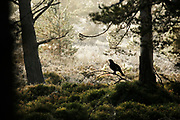 Male Capercaillie (Tetrao urogallus) silhouetted against misty frosty pine forest. In the Cairngorms National Park, Scotland