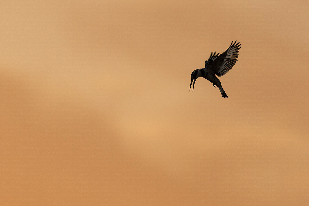 Silhouette of Pied Kingfisher Ceryle rudis hovering against orange sky, Eilat, Israel