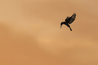 Silhouette of Pied Kingfisher Ceryle rudis hovering against orange sky, Eilat, Israel