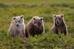 Alaskan Costal Brown Bear Cubs sitting in the Tundra