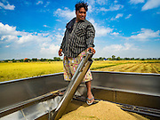 """23 NOVEMBER 2016 - AYUTTHAYA, THAILAND: A worker checks the amount of rice in the back of a harvester during the rice harvest in Ayutthaya province, north of Bangkok. Rice prices in Thailand hit a 13-month low early this month. The low prices are hurting farmers. Rice exports account for around 10 percent of Thailand's gross domestic product, and low prices frequently lead to discontent in the rural areas of Thailand. The military government has responded by sending soldiers to rice mills, to """"encourage"""" mill owners to pay farmers higher prices. The Thai army and navy are also buying for their kitchens directly from farmers in an effort to get more money into farmers' hands.  PHOTO BY JACK KURTZ"""