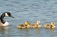 Middletown, New York - A Canada goose and goslings move across the lake at Fancher-Davidge Park on May 10, 2015.
