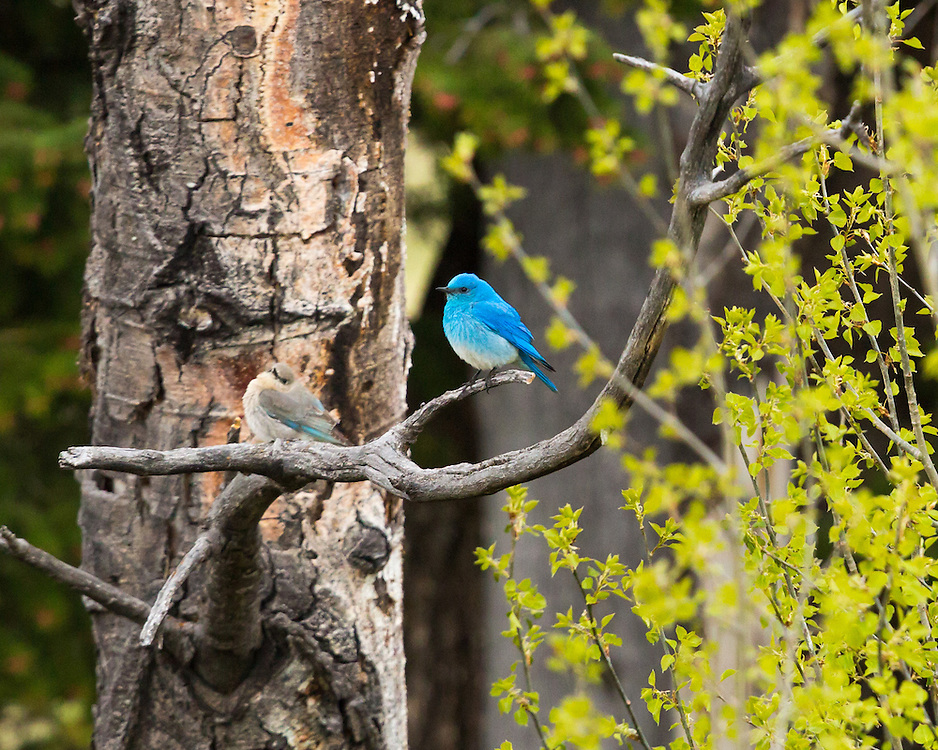 A bluebird couple in Yellowstone National Park.