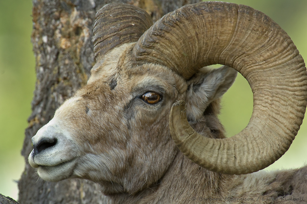 Rocky Mt. Bighorn Sheep [Ovis canadensis] ram, closeup; Yellowstone NP., Wyoming