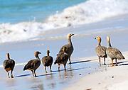 A group of Ruddy headed geese (Chloephaga rubidiceps)  on the beach at Carcass Island on Sunday 4th February 2018.