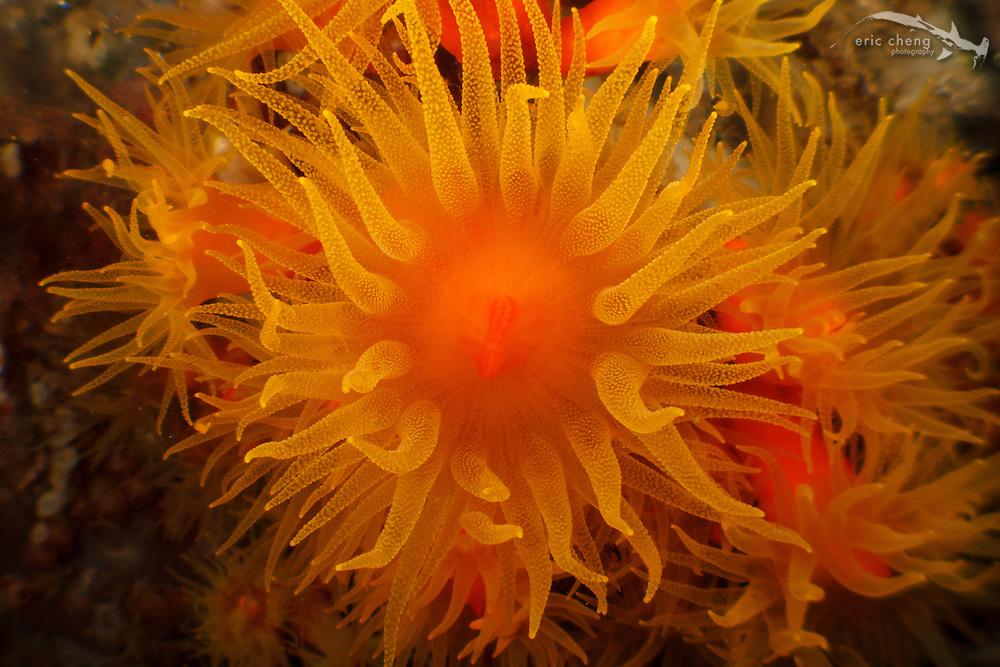 Sun coral (Tubastraea faulkneri). Lembeh Strait, Indonesia. echeng100304_0252749