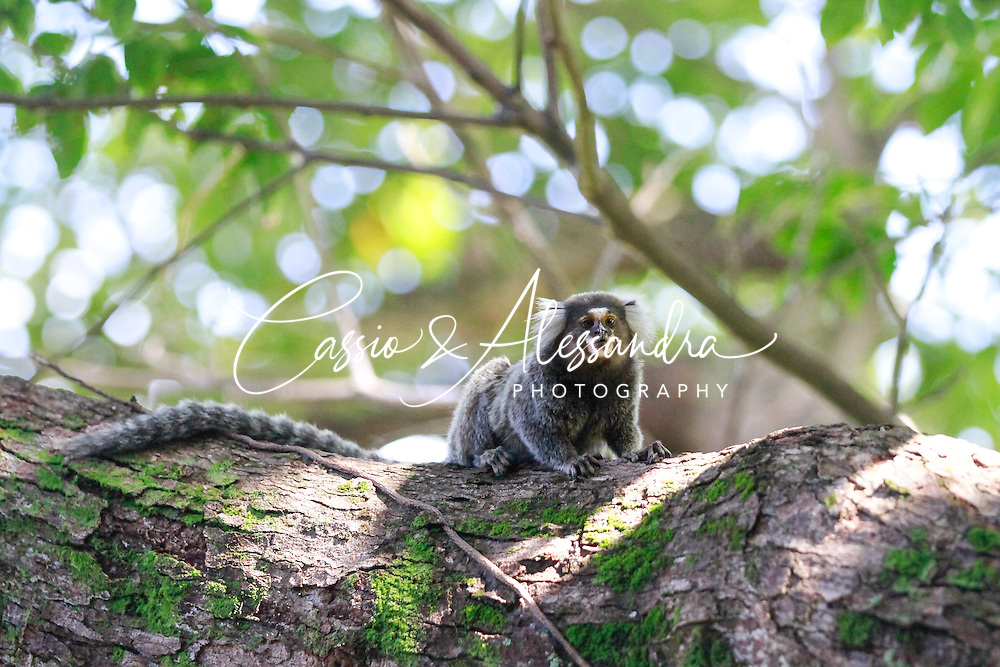 The common marmoset, locally called of Sagui, is a very common ape species seen in urban fauna on Northeast coast of Brazil. Outrageous. Constant battle with birds as they steal their eggs from the nests.