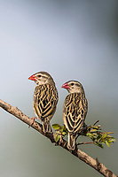 Red-billed Quelea , Zakouma National Park, Chad