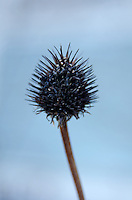 Coneflower seedhead in winter, Maine.