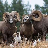 three bighorn rams