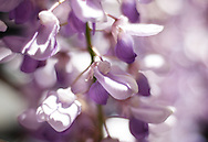 Soft pink and purple wisteria flowers, beautiful bokeh in bright spring sunshine