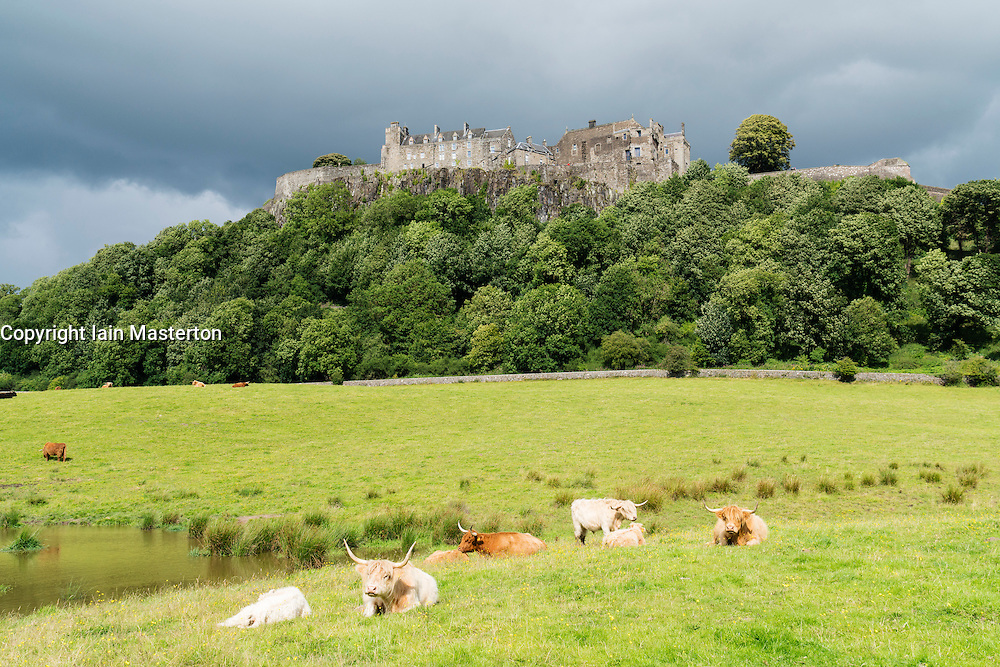 View of historic Stirling Castle with highland cattle in foreground in Stirlingshire, Scotland, UK