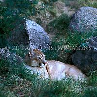 """Puma """"Felis concolor"""", Reserva autoctone de fauna em Piriapolis, Pontevedra, Uruguai foto de Ze Paiva/Vista Imagens"""