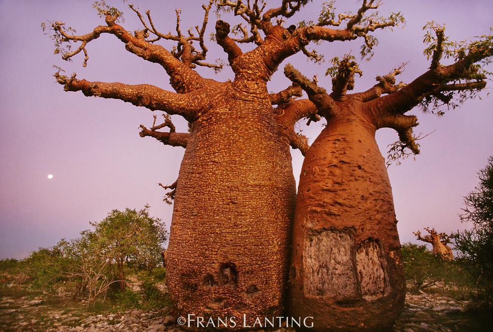 Baobab at sunset, Western Madagascar