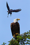 "A northwestern crow (Corvus caurinus) dives at a bald eagle (Haliaeetus leucocephalus) perched in Kirkland, Washington. Crows often harass eagles, hawks and other birds of prey, attacks that are known as ""mobbing."""