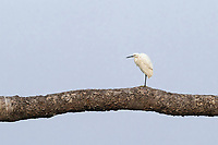 "The little egret (Egretta garzetta) is a species of small heron in the family Ardeidae. The genus name comes from the Provençal French Aigrette, ""egret"", a diminutive of Aigron,"" heron"". The species epithet garzetta is from the Italian name for this bird, garzetta or sgarzetta."