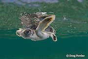 Australian flatback sea turtle hatchling swims out to sea from nesting beach, Natator depressus , Torres Strait, Queensland, Australia