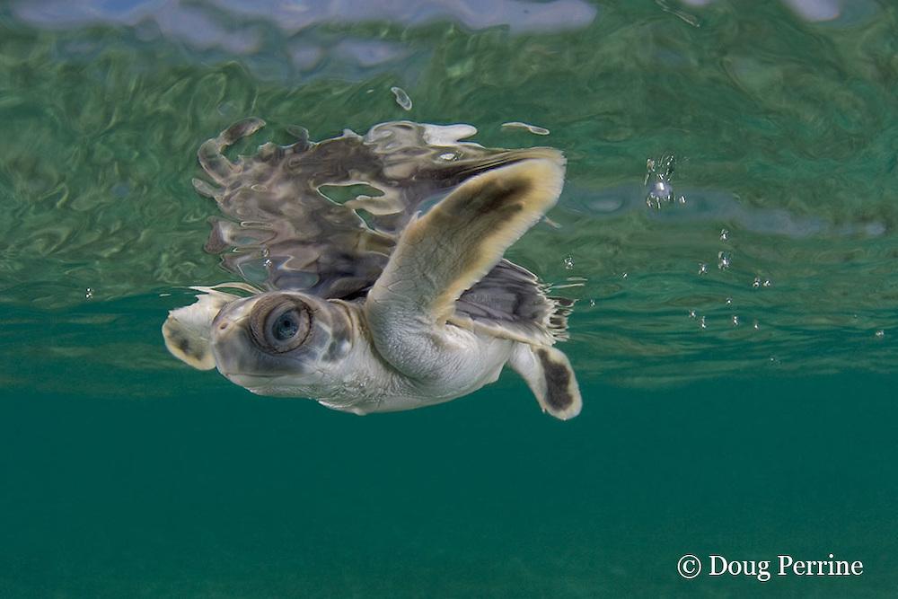Australian flatback sea turtle hatchling swims out to sea from nesting beach, Natator depressus , Torres Strait, Queensland, Australia