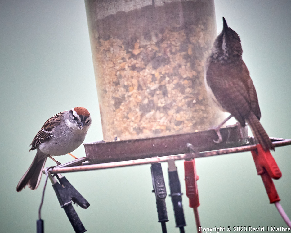 Chipping Sparrow and Carolina Wren. Image taken with a Nikon D5 camera and 600 mm f/4 mm VR lens (ISO 1600, 600 mm, f/5.6, 1/800 sec)