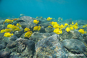 schooling yellow tangs ( Zebrasoma flavescens ) swarm over rocky reef, Kahalu'u ( Kahaluu )Beach Park, Kona, Hawaii Island ( the Big Island ), Hawaii, USA ( Central Pacific Ocean )