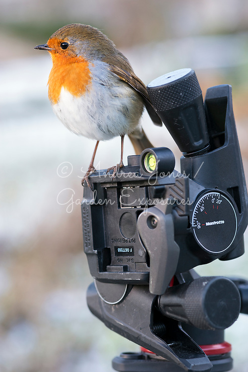 Erithacus rubecula (European robin) sitting on Manfrotto tripod in snow