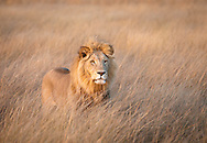A male lion in the plains in front of Kwetsani camp, Okavango Delta, Botswana