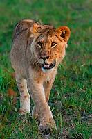 Lioness, near Kwara Camp, Okavango Delta, Botswana.