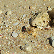 A yadokari crab makes his way across the beach, hoping to stay unnoticed as he carries the perfect camouflage from visiting paparazzi on his back