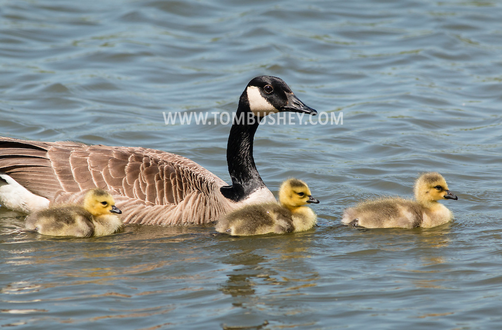 Middletown, New York - Canada geese and goslings at Fancher-Davidge Park on May 10, 2015.