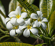 Plumeria obtusa (Singapore Plumeria, or Frangipani) is a fragrant ornamental garden tree native to Mexico, Belize, Guatemala and the Caribbean. Photographed at the visitor center parking lot at Pearl Harbor, island of Oahu, Hawaii, USA.