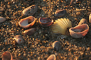 Nantucket, MA 043011  (description: sea shells) Seas-side beach treasures at Brant Point Beach photographed at sunrise in Nantucket, MA  during the last weekend of April 2011. (photo by Essdras M Suarez/ EMS Photography)