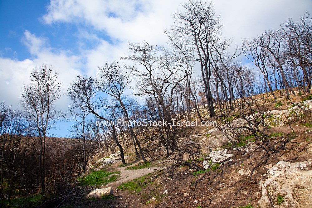 Israel, Carmel forest, the forest is regrowing after the fire devastation. An ongoing argument between two schools of thought has caused this forest to become a major experiment where one part of the forest was replanted while the other part was left to the natural process