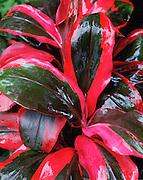 Ti Plant, Hawaii, USA<br />