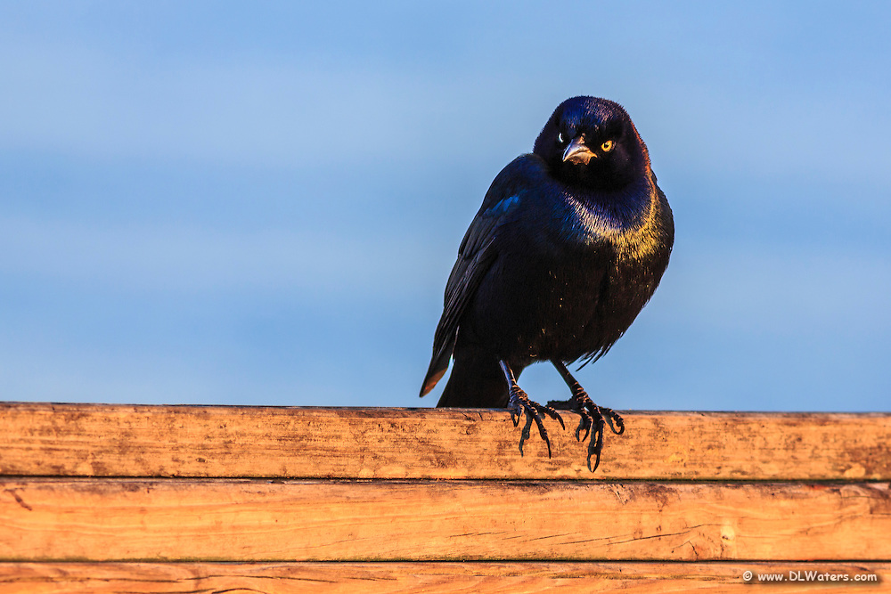 Grackle at Kitty Hawk Fishing Pier looking ticked off that I am photographing him.