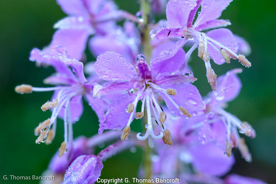The rain during the night left droplets on the fireweed blooms (above) and buds ( right).  I liked the soft texture these flowers have and how they glowed in the early morning light.
