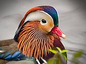 Mandarin Duck, Wood Duck, The American Coot