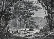 Collecting cinchona bark, the source of Quinine, in the forests of Ecuador, South America. Late 19th century engraving.