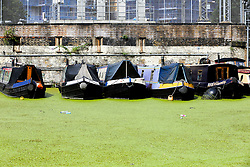 © Licensed to London News Pictures. 03/08/2019. London, UK. Parked boats on Regents Canal which is covered in green Algae. Recent high temperatures in London has caused an increase of the Algae in rivers and canals. Photo credit: Dinendra Haria/LNP
