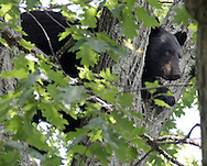 A bear climbed about 60 feet up a tree at the Middletown Commuinity Campus on Friday, July 30, 2010. The tree is diagonally across the street from the emergency housing building. Middletown police are on the scene keeping people away from the bear.