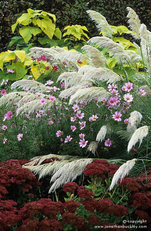 Cortaderia selloana 'Sunningdale Silver' with Sedum 'Herbstfreude' syn. Sedum 'Autumn Joy' and Cosmos