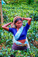 Sri Lanka, province de l'Uva, Haputale, plantations de thé, cueillette de thé, cueilleuses tamoules // Sri Lanka, Ceylon, Central Province, Haputale, tea plantation in the Highlands, Tamil Women Tea Picker picking tea leaves