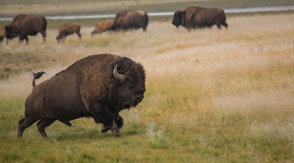 Although they appear somewhat docile, bison are anything but.  Bulls are extremely ill-tempered and can move at speeds of 30 mph, making them one of the most dangerous animals in Yellowstone.