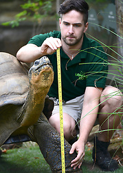 © Licensed to London News Pictures. 22/08/2012. Dirk the giant tortoise is measured. London, UK ZSL London Zoo conducts its annual weigh-in. Each of the 16,000 animals are measured and weighed. The information recorded is sent to zoos around the world. Photo credit : Stephen Simpson/LNP