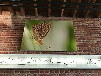"56""x38"" Canvas gallery wrap (Mormon Fritillary on corn lily) at Bareburger, Santa Monica, CA, USA, on 20-Oct-17"