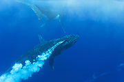 Humpback Whale<br /> Megaptera novaeangliae<br /> Male aggression during competitive &quot;heat run&quot; for female<br /> Tonga, South Pacific