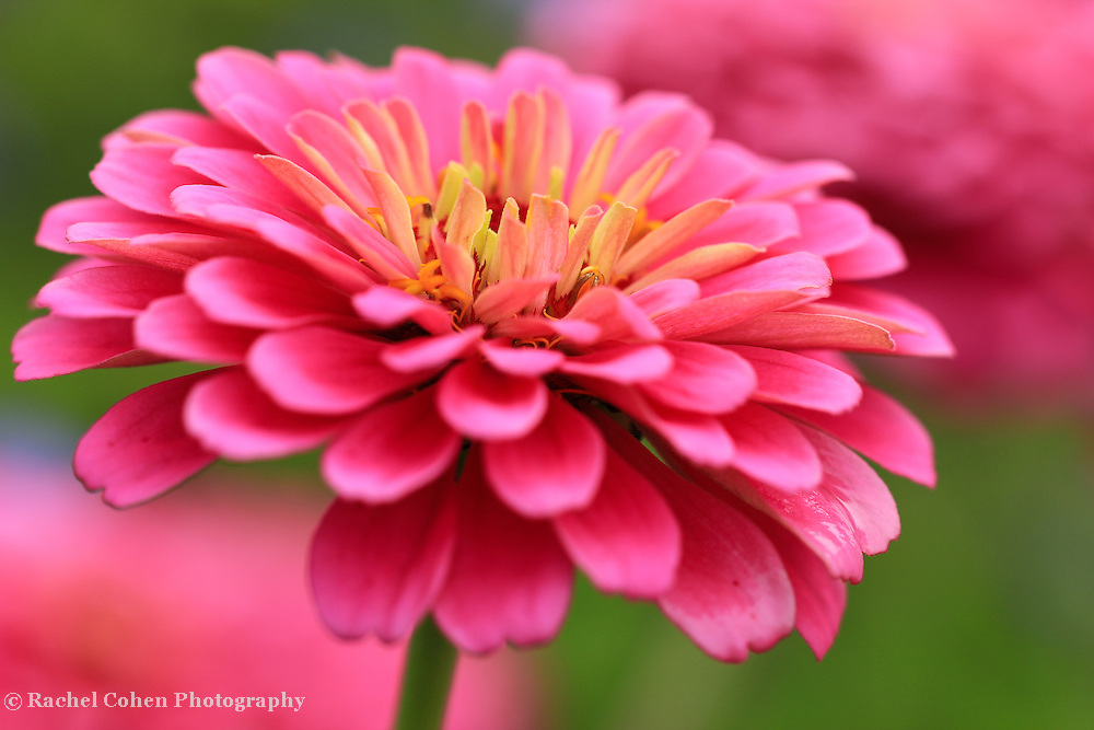 &quot;Zinnia's In Pink&quot;<br />